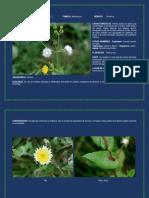 cerraja-sonchus oleraceae