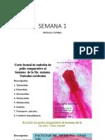 Laminas de Embrio (1)