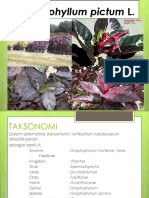 Graptophyllum Pictum L