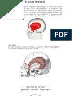 Musculos Masticacion Universidad Del Sur