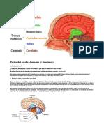 El Cerebro Humano y Sus Funciones_18102017