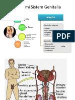 Anatomi Sistem Genitalia