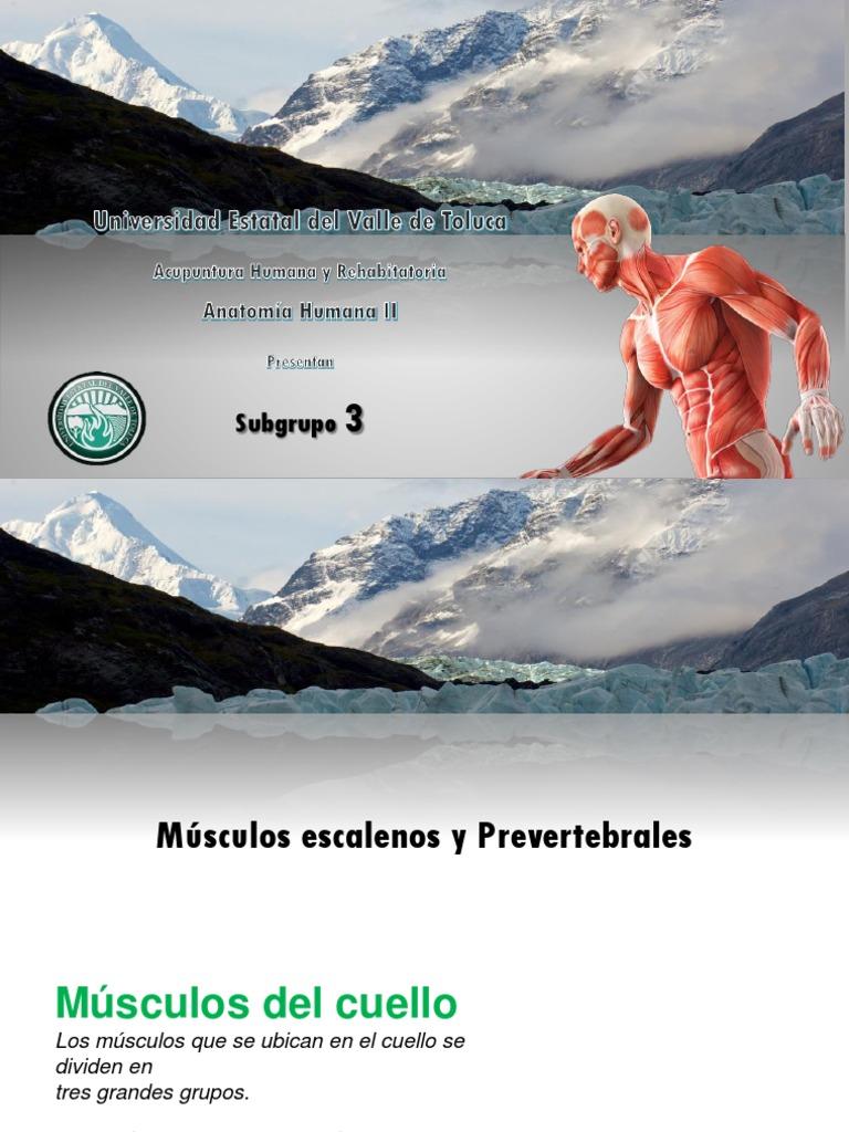 Musculos Escalenos