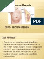Anatomía mamaria