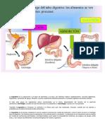 etapas digestión
