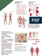 60995241-Triptico-El-Sistema-Muscular.doc
