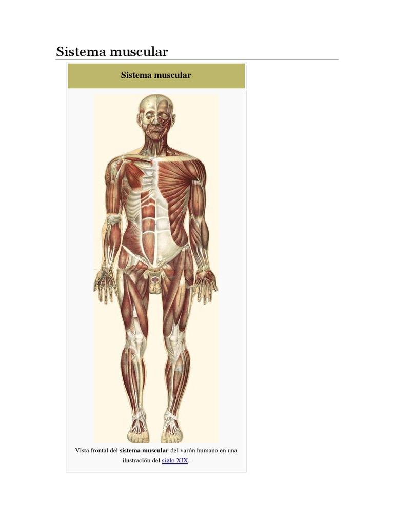 Sistema Muscular Jhair