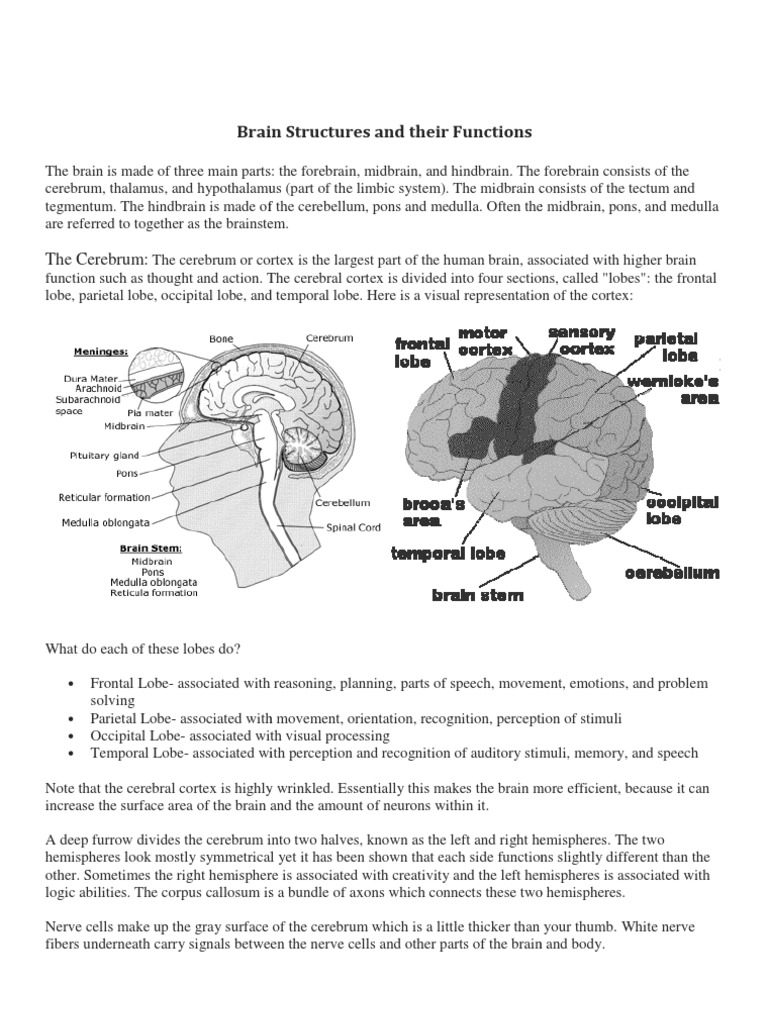 Brain Structures And Their Function A Level Biology Cerebrum