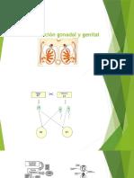 Diferenciación Gonadal y Genital