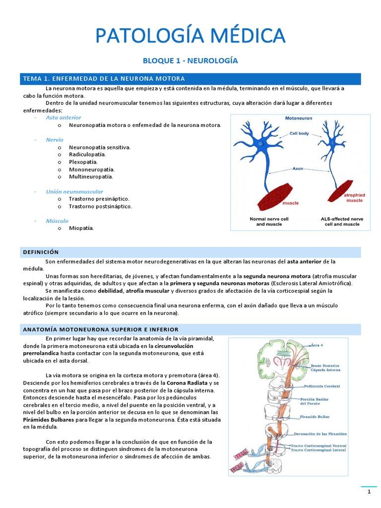 Perfecto Anatomía De Una Neurona Motora Viñeta - Imágenes de ...