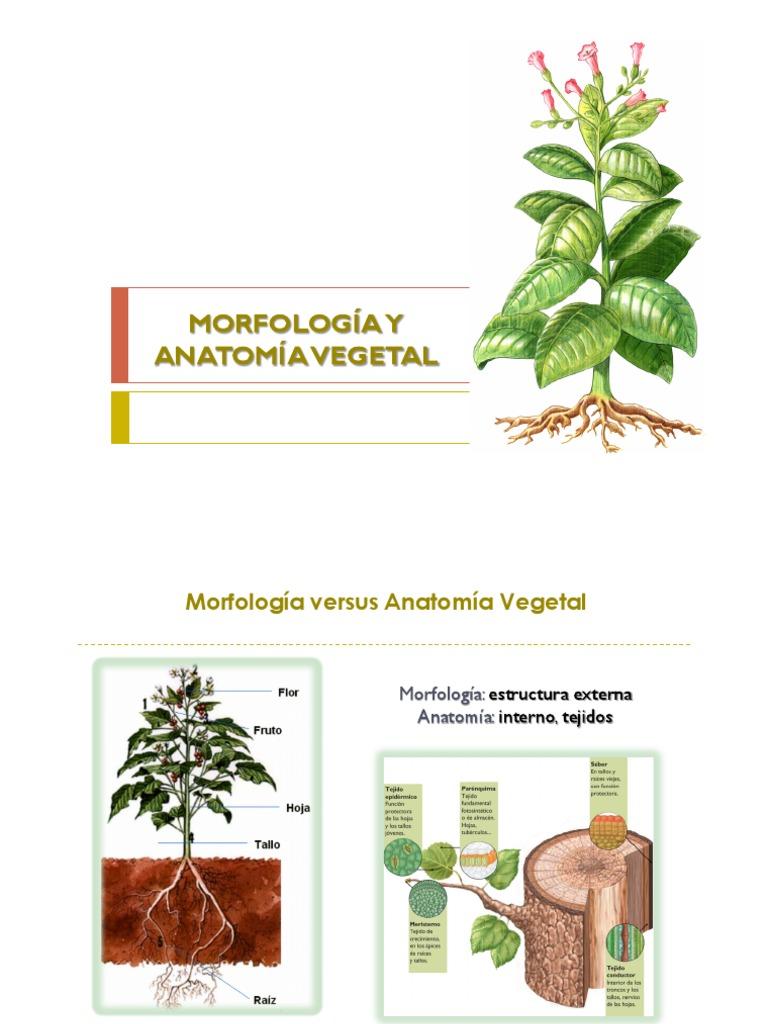 Morfología y Anatomía Vegetal 2
