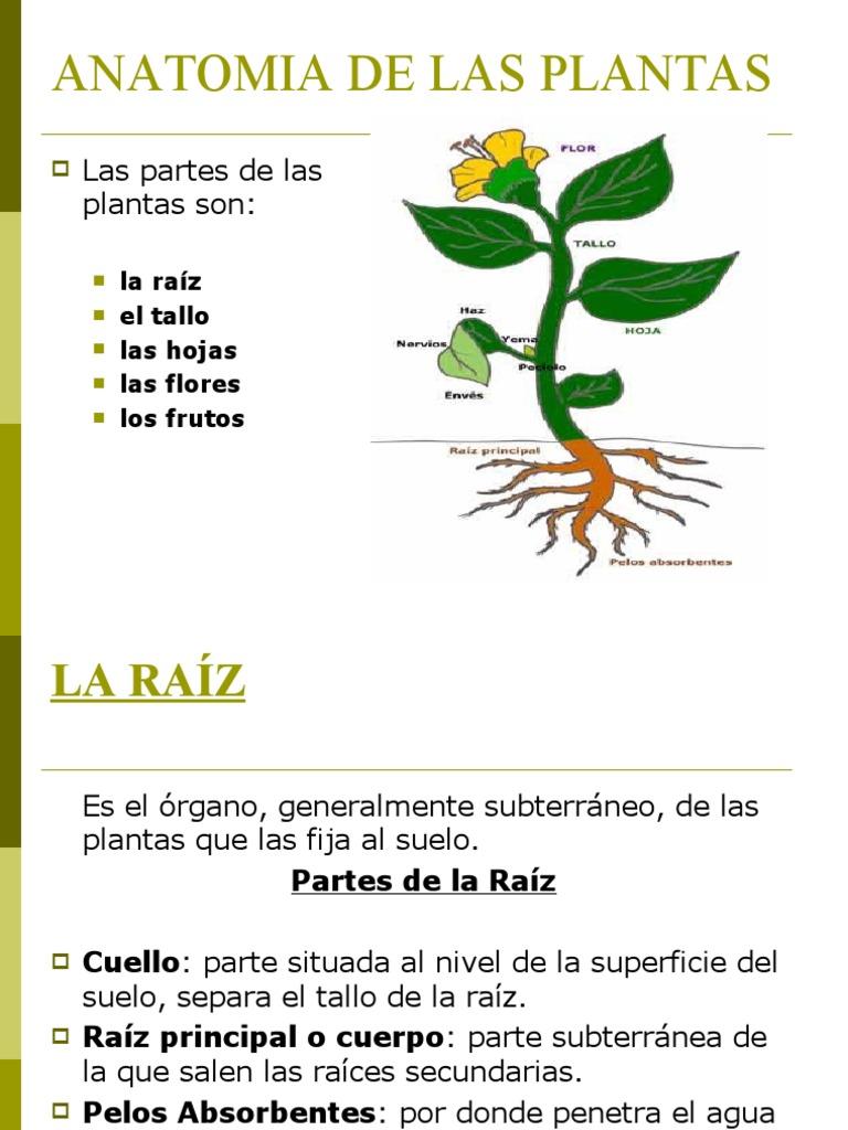 Hermosa Anatomía De Las Plantas De Fresa Foto - Imágenes de Anatomía ...