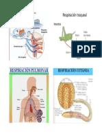 Respiracion Branquial, Pulmona, Traqueal y Cutanea