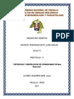 P11 GENETICA