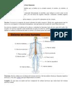Componentes Del Sistema Nervioso Humano