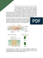 Las Fibras Miocárdicas Individuales