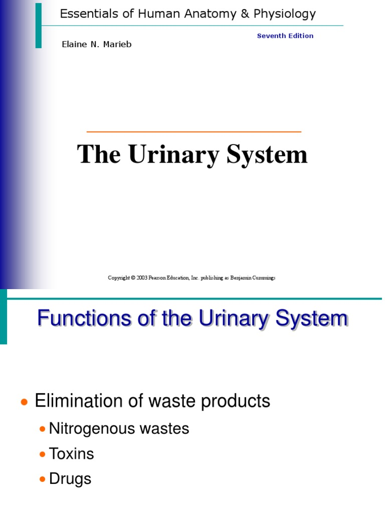 The Urinary System (17) | Kidney | Urinary System