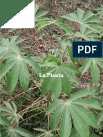 Descripcion de La Planta Yuca parte 2