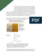 arroz dorado traducido.docx