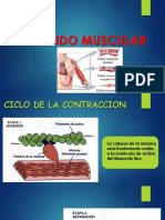 Ciclo de La Contraccion Histologia