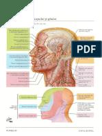 craniu inervatie cutanata