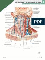 Nervios y Vasos Del Cuello (Vista Frontal)