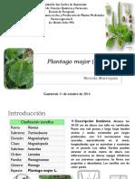 Plantago-major-Llantén.pdf
