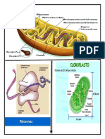 mitocondira