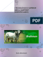 Raza Brahman