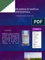 Producción Masiva de Navícula Cryptocephala