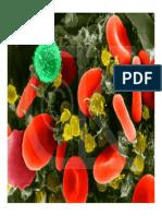Sangue e Hematocitopoese
