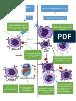Inmunidad celular vs inmunidad humoral