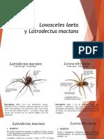 Loxosceles Laeta y Latrodectus Mactans