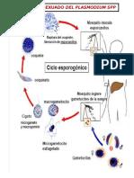 ciclodelplasmodium-110704090852-phpapp01
