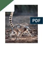 Lemur 11