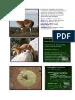 El guanaco es una especie de mamífero artiodáctilo de la familia Camelidae propia de América del Sur.docx