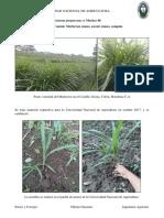 Pennisetum Purpureum Cv Merker Grass