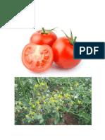 Herbario Tomate
