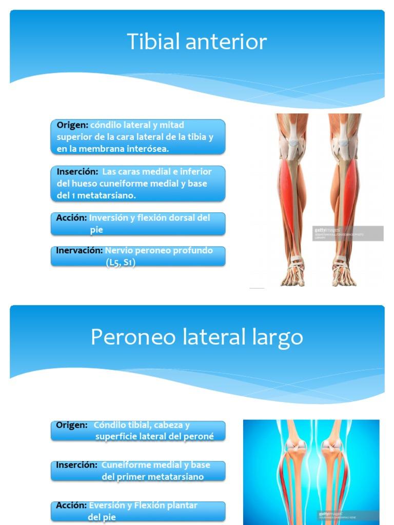 Dorable Origen Y La Inserción De Tibial Anterior Friso - Anatomía de ...