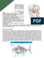 CIRCULACION EN EL HOMBRE.docx