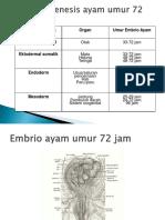 Embrio Ayam 72 Dan 96 Jam
