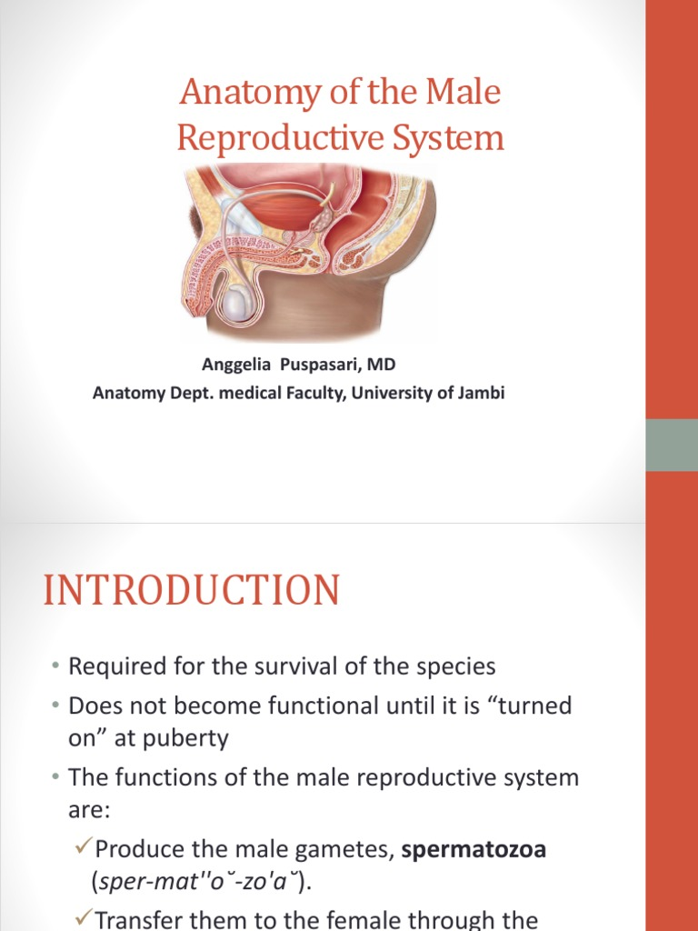 Anatomy Of Male Reproductive Organs Testicle Sex Organ