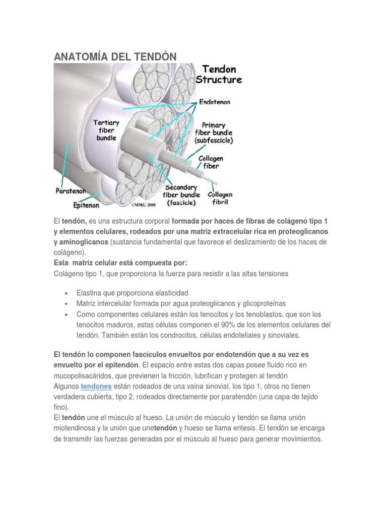 Anatomía Del Tendón