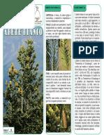 30 Pzi Chamaecyparis columnaris Blu Finto cipresso in vaso sempre verde 10-20 cm