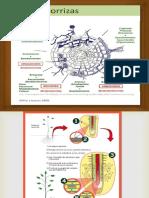 estructura endomicorrizas