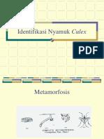 Praktikum-Original Identifikasi-nyamuk Culex