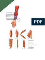Clases de Musculos Imagenes
