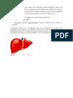 Las Glándulas Anexas Son Órganos Que Segregan Líquidos Digestivos Capaces de Transformar Los Alimentos en Sustancias Más Simples Para Facilitar Su Digestión