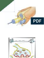 structura nervului si sinapsa.docx