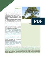 Ceiba-Ceiba Pentandra (Correcciones)
